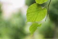 Ciérrese encima de las hojas mojadas del tilo después de lluvia Imagen de archivo