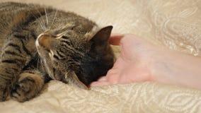 Ciérrese encima de las manos de los juegos de la muchacha con el gato de gato atigrado lindo el dormir almacen de metraje de vídeo
