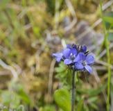 Ciérrese encima de las pequeñas flores de campana azules apacibles, foco selectivo imagen de archivo libre de regalías