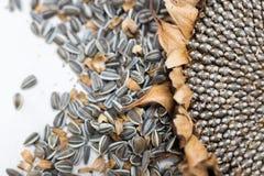Ciérrese encima de las semillas y de la cabeza macras de girasol Foto de archivo