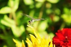 Ciérrese encima de libélula Foto de archivo