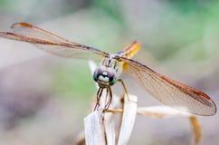 Ciérrese encima de libélula en hierba seca con el fondo borroso Imágenes de archivo libres de regalías
