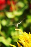 Ciérrese encima de libélula y de la flor amarilla Imagenes de archivo