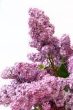 Ciérrese encima de lila Fotos de archivo