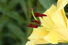 Ciérrese encima de lilium amarillo Foto de archivo libre de regalías