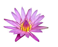 Ciérrese encima de lirio de agua o de la flor de loto floreciente Foto de archivo