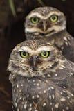 Ciérrese encima de los búhos que miran la cámara - cunicularia del Athene Foto de archivo libre de regalías
