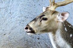 Ciérrese encima de los ciervos de Eld Imagen de archivo