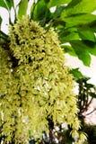 Ciérrese encima de los colores blancos de las flores de la orquídea del rochussenii de Coelogyne fotos de archivo