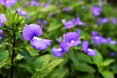 Ciérrese encima de los colores violetas o púrpuras de la flor hermosa que florecen con el fondo verde de la hoja Imagen de archivo libre de regalías