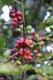 Ciérrese encima de los granos de café de la visión en un árbol imágenes de archivo libres de regalías