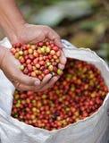 Ciérrese encima de los granos de café rojos de las bayas fotos de archivo