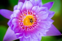 Ciérrese encima de loto Imagen de archivo