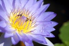 Ciérrese encima de loto con la abeja dentro Imagen de archivo