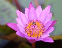 Ciérrese encima de loto con la abeja dentro Imagen de archivo libre de regalías