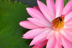 Ciérrese encima de loto rosado Fotografía de archivo libre de regalías