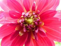 Ciérrese encima de macro de Dahlia Flower rosada Imagenes de archivo