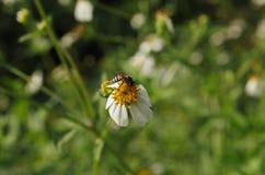 Ciérrese encima de manzanilla con la abeja Fotos de archivo