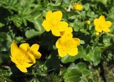 Ciérrese encima de maravillas de pantano amarillas Foto de archivo libre de regalías