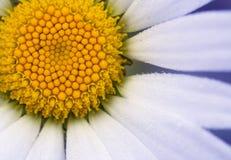 Ciérrese encima de margarita Imagen de archivo libre de regalías