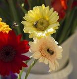 Ciérrese encima de margarita roja y rosada amarilla del gerber con las abejas de la miel del vuelo Imagen de archivo