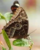 Ciérrese encima de mariposa Fotografía de archivo