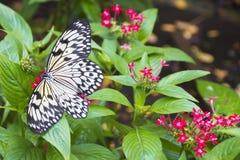 Ciérrese encima de mariposa blanco y negro Imagenes de archivo