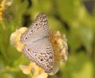Ciérrese encima de mariposa en la flor amarilla Fotografía de archivo