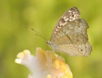Ciérrese encima de mariposa en la flor amarilla Imagen de archivo