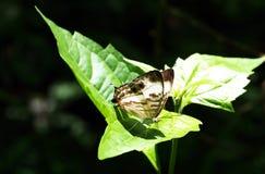 Ciérrese encima de mariposa en las hojas Imagenes de archivo