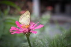 Ciérrese encima de mariposa hermosa en la flor fotografía de archivo libre de regalías