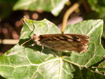 Ciérrese encima de mariposa de madera manchada en la hoja que descansa el aegeria de Pararge Foto de archivo libre de regalías
