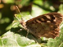 Ciérrese encima de mariposa de madera manchada en la hoja que descansa el aegeria de Pararge Imagen de archivo
