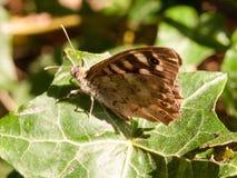 Ciérrese encima de mariposa de madera manchada en la hoja que descansa el aegeria de Pararge Foto de archivo
