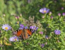 Ciérrese encima de mariposa de pavo real en fondo verde suave de las flores rosadas Fotos de archivo