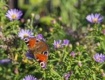 Ciérrese encima de mariposa de pavo real en fondo verde suave de las flores rosadas Imágenes de archivo libres de regalías