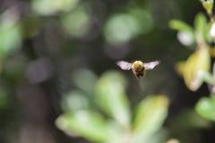 Ciérrese encima de mediados de vuelo de la abeja surafricana fotos de archivo libres de regalías