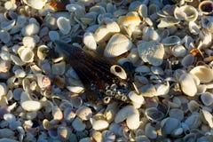 Ciérrese encima de millares de pequeñas cáscaras en la playa Imágenes de archivo libres de regalías