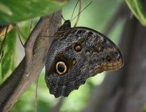 Ciérrese encima de mirada en Owl Butterfly en un jardín Imagen de archivo libre de regalías