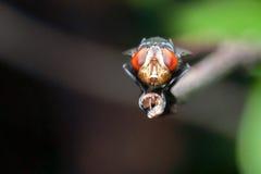 Ciérrese encima de moscas Fotos de archivo