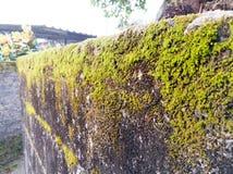 Ciérrese encima de musgo en el muro de cemento Fotografía de archivo