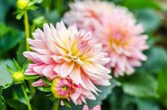 Ciérrese encima de naranja en la flor híbrida de la dalia rosada con el backgr borroso Fotografía de archivo libre de regalías