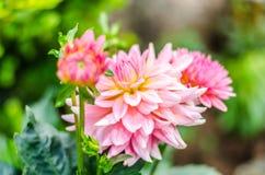 Ciérrese encima de naranja en la flor híbrida de la dalia rosada con el backgr borroso Fotografía de archivo