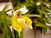 Ciérrese encima de nephenthes amarillos foto de archivo libre de regalías