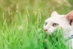 Ciérrese encima de ojo de gato en hierba verde Fotos de archivo