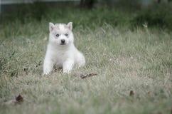 Ciérrese encima de ojos azules del perrito lindo fotos de archivo
