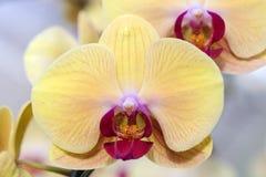 Ciérrese encima de orquídea Fotografía de archivo