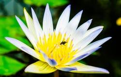 Ciérrese encima de pequeño loto blanco floreciente en la charca con el áfido en el carpelo Foto de archivo libre de regalías