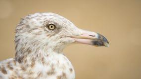 Ciérrese encima de perfil de una cabeza manchada de la gaviota Imágenes de archivo libres de regalías