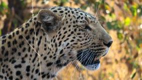 Ciérrese encima de perfil lateral del pardus africano del pardus del Panthera del leopardo imágenes de archivo libres de regalías